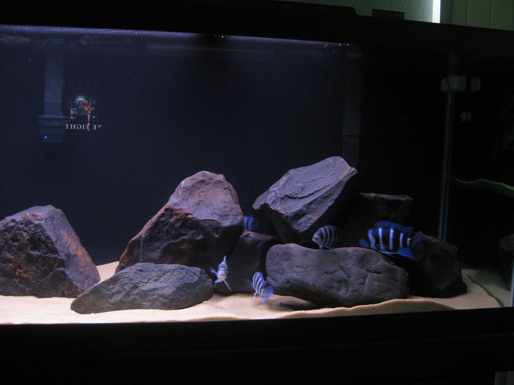 Cichlid Forum How Much Did You Spend Or Would Spend On Your Frontosa